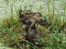 mottled fulvigula утки anas стоковые изображения
