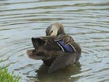 mottled fulvigula утки anas Стоковое Изображение RF