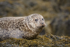 Mottled grey seal royalty free stock photos
