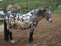 Mottled horse in corral. Northern Bohemia stock images