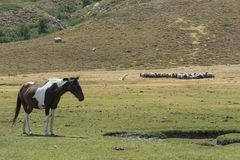 Mottled horse and herd of sheep on the mountain pasture Stock Photo