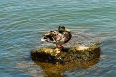Mottled mallard duck on rock in water. Mottled male mallard duck standing on rock in green water Royalty Free Stock Images