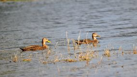 Mottled Mallards (dabbling ducks) Stock Photos