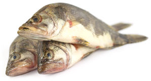 Mottled Nandus or veda fishes Stock Images