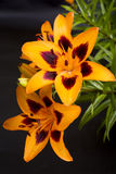 Mottled orange lily Royalty Free Stock Photography