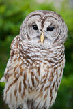 Mottled owl with brown and white stripes Royalty Free Stock Photos