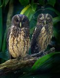 Mottled Owl - Ciccaba Strix virgata in Costa Rica. Mottled Owl - Ciccaba Strix virgata is owl found in Central and South America from Mexico to Brazil and royalty free stock images