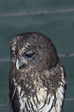 Mottled Owl Royalty Free Stock Image