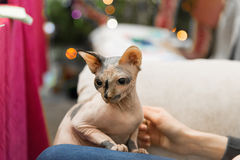 Mottled Peterbald in the hands of the hostess Stock Image