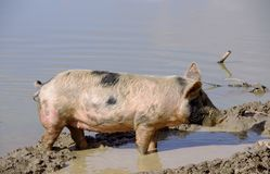 Mottled pig Stock Photo
