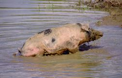 Mottled pig Stock Photography