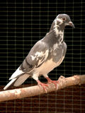 Mottled Pigeon. A mottled pigeon with a black background.  Taken at a wildlife hospital shortly before release Stock Image