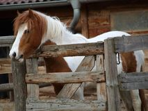 Mottled Pony in corral. Northern Bohemia stock images