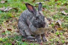 Wild animal. Gray rabbit Stock Images