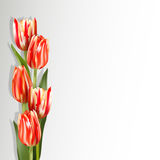 Mottled red tulips. Red tulips on a light background with shadow. Motley red flowers on the left side of card. The template for the congratulations for the Stock Photos