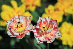 Mottled red and white tulips Royalty Free Stock Photography
