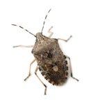 Mottled Shield Bug stock images