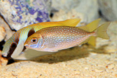 Mottled spinefoot Royalty Free Stock Image
