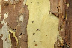 Mottled Sycamore Tree Bark And Trunk Background Or Texture. Close-up, Horizontal Image With Copy Space royalty free stock image