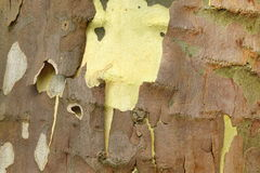 Mottled Sycamore Tree Bark And Trunk Background Or Texture Stock Photo