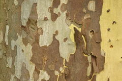 Mottled Sycamore Tree Bark And Trunk Background Or Texture Stock Images
