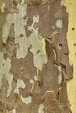 Mottled Sycamore Tree Bark And Trunk Vertical Background Or Text Royalty Free Stock Images