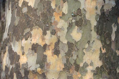 Mottled tree bark and trunk Stock Images