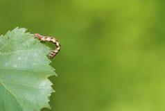 Mottled Umber (Erannis defoliaria) Stock Images