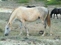 Mottled white horse grazing dry grass. Photo of a mottled white horse quietly grazing dry grass in the south of Menorca during a summer vacation day stock image