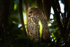 Mottled wood owl. Perched and staring at Gir Forest stock image
