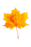 Mottled yellow fallen autumn leaf. Isolated on a white background Stock Photo