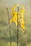 Mottled yellow leaves Stock Image