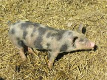 Mottled young pig in the straw Royalty Free Stock Photos