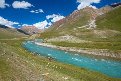 Motton blue ruver in mountains of Tien Shan Stock Photos