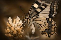 motyl Zdjęcie Royalty Free