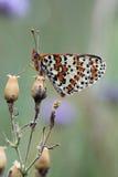 Motyl. Zdjęcie Stock