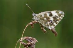 Motyl. Zdjęcie Royalty Free