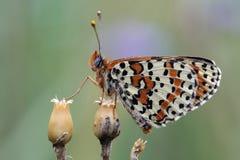 Motyl. Obraz Royalty Free