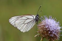 Motyl. Fotografia Royalty Free