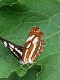 Motyl Obrazy Stock