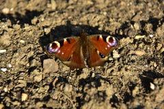 Motyl Fotografia Royalty Free