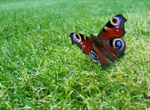 Motyl (Aglais io) Fotografia Stock