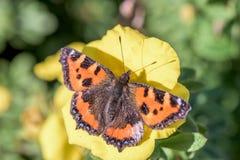 Motyl - Aglais urticae Zdjęcia Royalty Free
