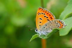 Motyl - Ampuła Miedziuje (Lycaena dispar) zdjęcia stock