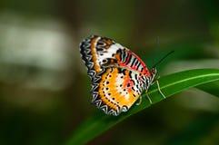 motyl barwiący Zdjęcie Royalty Free