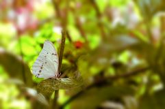 Motyl, biały Morpho (Morpho polyphemus) Fotografia Royalty Free