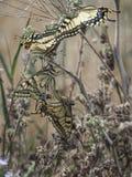 Motyl bitwa Zdjęcia Stock