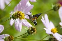 Motyl - Brazhnik Zdjęcia Royalty Free