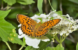 Motyl (Brentis) 2 Fotografia Stock