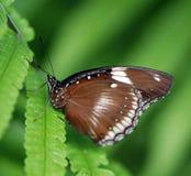 motyl brown fotografia royalty free